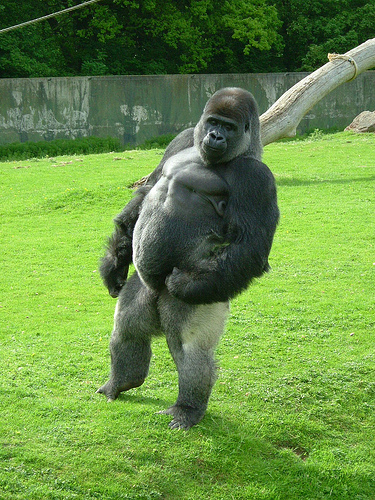 Gorilla without hair
